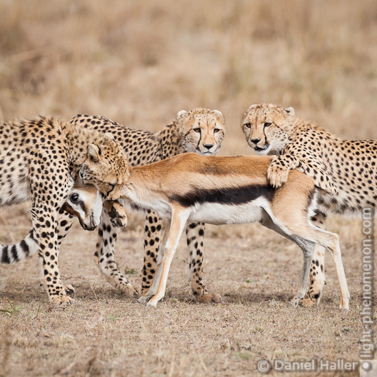 geparden spiele