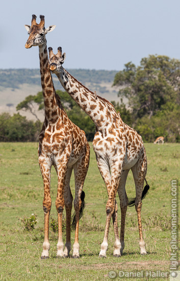 Annäherungsversuch einer Giraffe
