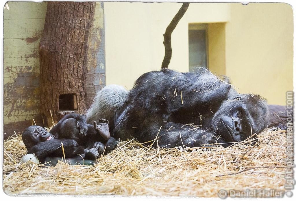 N'Gola, Zoo Zürich, Ngola-4327, light-phenomenon.com