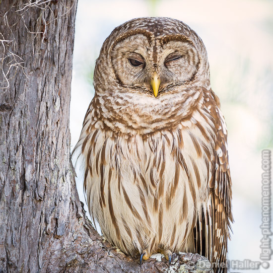 Barred_owl-5596, Daniel Haller, light-phenomenon.com