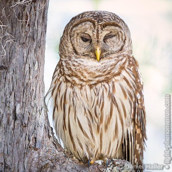 Barred_owl-5596, Daniel Haller, light-phenomenon.com