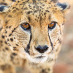 Cheetah-2969, Daniel Haller - light-phenomenon.com
