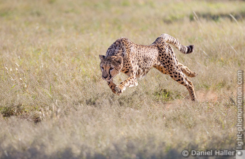 Cheetah_Run-8609, Daniel Haller - light-phenomenon.com