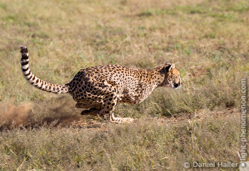 Cheetah_Run-8630, Daniel Haller - light-phenomenon.com