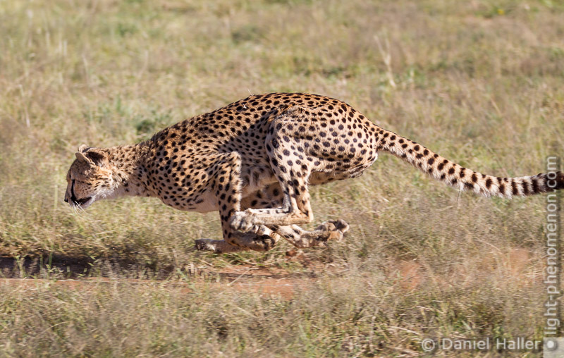 Cheetah_Run-8676, Daniel Haller - light-phenomenon.com
