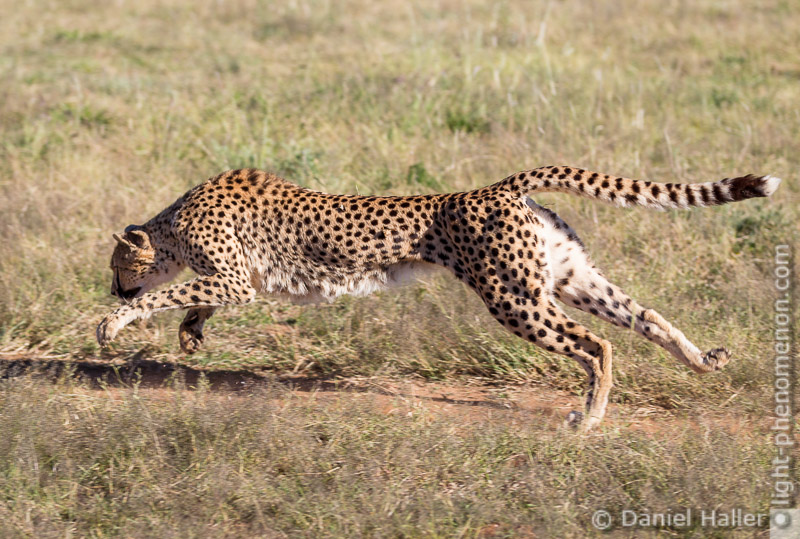 Cheetah_Run-8677, Daniel Haller - light-phenomenon.com