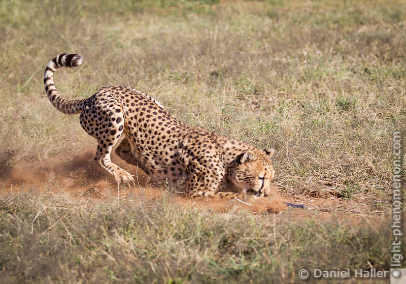 Cheetah_Run-8721, Daniel Haller - light-phenomenon.com