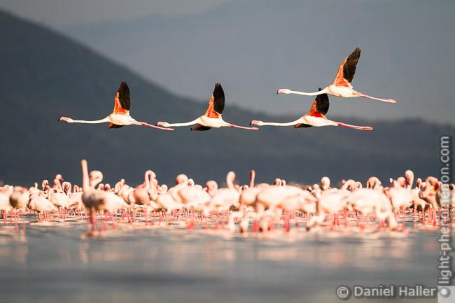 Greater_Flamingos-2715, Lake Nakuru, Daniel Haller - light-phenomenon.com