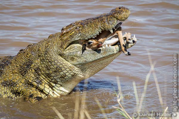 Bone Crusher, Crocodile Kill, Mara River, Masai Mara, Kenya, Bone_Crusher-3362, light-phenomenon.com, Daniel Haller