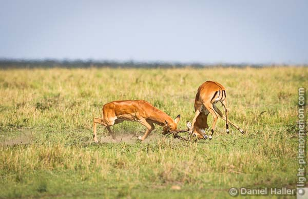 Impala Fight, Masai Mara, Fight-8254, light-phenomenon.com, Daniel Haller