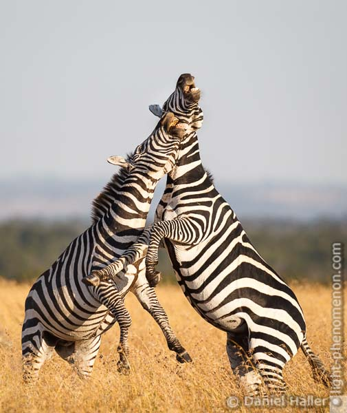 Fighting Zebras, Sweetwater Game Reserve, Kenya, Zebra_Fight-1965, light-phenomenon.com, Daniel Haller