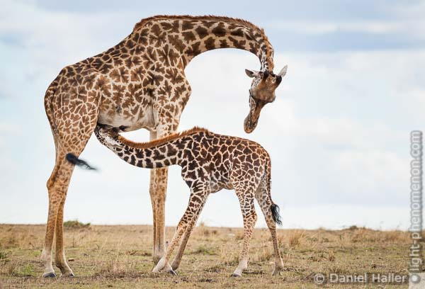 Two_Giraffes-9545