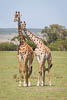 Love and Affection, two Giraffes, Masai Mara National Reserve, Kenya, East Africa, Copyright (c) Daniel Haller - light-phenomenon.com. All rights reserved.