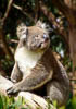 Koala, Kangaroo Island, South Australia, Australia, Copyright (c) Daniel Haller - light-phenomenon.com. All rights reserved.