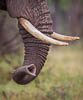 The trunk and the tusks of an Elephant, Tanzania, East Africa, Copyright (c) Daniel Haller - light-phenomenon.com. All rights reserved.