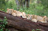 Two lion cubs lying on a tree trunk, Lake Nakuru National Park, Kenya, Africa, Copyright (c) Daniel Haller - light-phenomenon.com. All rights reserved.