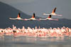 Four Greater Flamingos flying over a Lesser Flamingo colony, Lake Nakuru, Lake Nakuru National Park, Kenya, East Africa, Copyright (c) Daniel Haller - light-phenomenon.com. All rights reserved.