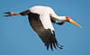 Yellow-billed stork, Masai Mara National Reserve, Kenya, East Africa, Copyright (c) Daniel Haller - light-phenomenon.com. All rights reserved.