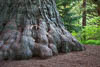 Sequoia sempervirens, Prairie Creek Redwoods State Park, Humboldt County, California, USA, Copyright (c) Daniel Haller - light-phenomenon.com. All rights reserved.