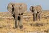 Two Elephants, Etosha National Park, northwestern Namibia, Southern Africa, Copyright (c) Daniel Haller - light-phenomenon.com. All rights reserved.