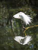 Great egret with reflection, Everglades, Florida, United States, USA, Copyright (c) Daniel Haller - light-phenomenon.com. All rights reserved.