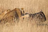 Hunting Lioness, Masai Mara, Republic of Kenya, East Africa, Copyright (c) Daniel Haller - light-phenomenon.com. All rights reserved.