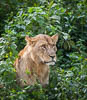 Lion, Lake Nakuru, Lake Nakuru National Park, Kenya, East Africa, Copyright (c) Daniel Haller - light-phenomenon.com. All rights reserved.