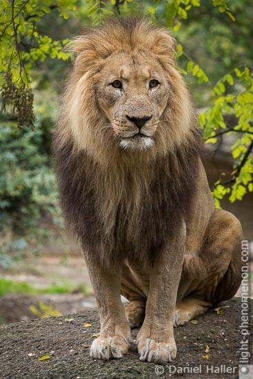 Löwenmännchen Mbali, Male Lion, Zoo Basel, 20161014-zoo_basel-5478, Copyright: Daniel Haller, light-phenomenon.com
