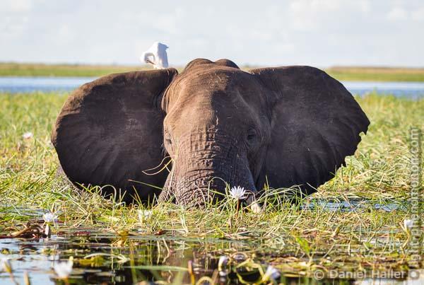 Elephant, Chobe River, Botswana, Copyright: Daniel Haller, light-phenomenon.com